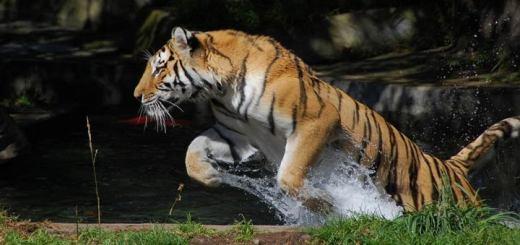 сонник, хищник тигр во сне