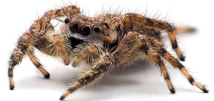 сонник пауки маленькие